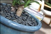 Black Polished Pebbles in Plant Pot